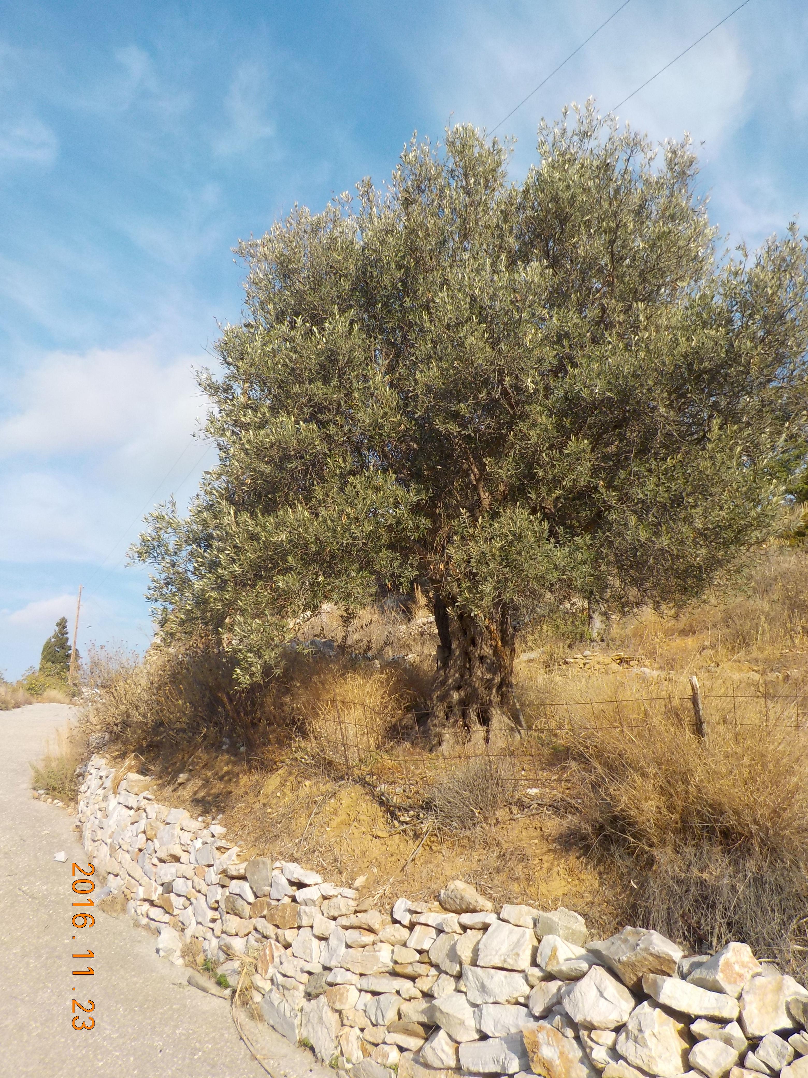 old_olives_villamirtula