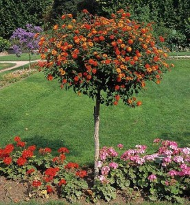 Lantana_little_tree