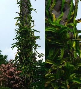 epiphyton_cactus_around_palm