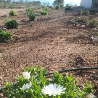 The African Daisy in time will cover the ground and provide cheerful flowers