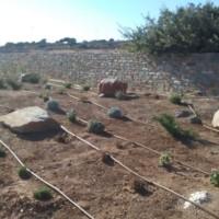 Low plantang of Lavanders, Santolinas, Gauras, Junipers and creeping Rosemary